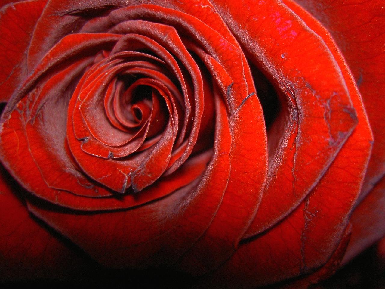 Sfondo Desktop rosa rossa