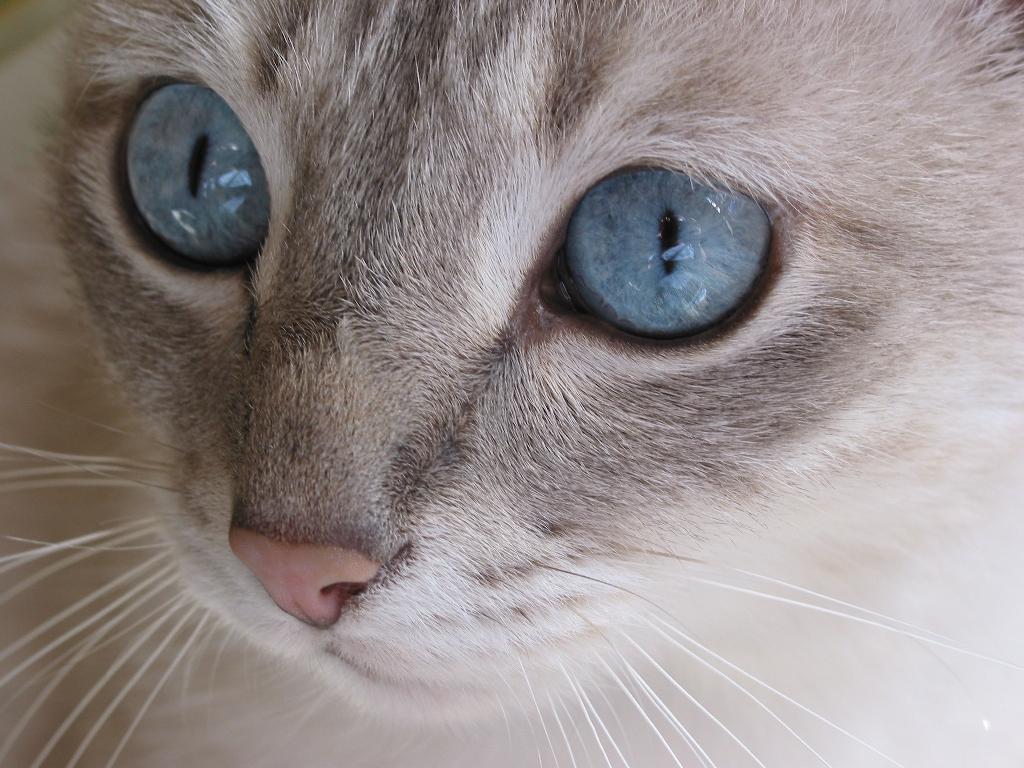 Sfondo desktop gatto macro for Sfondi desktop animali