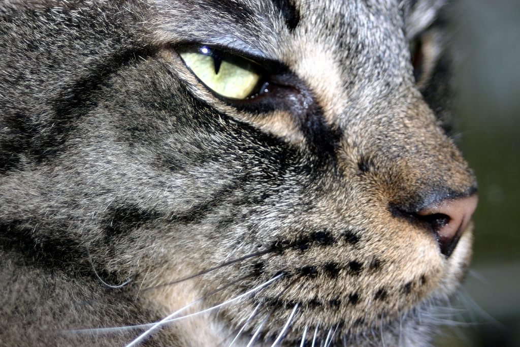 Sfondo desktop gatto profilo for Sfondi desktop animali
