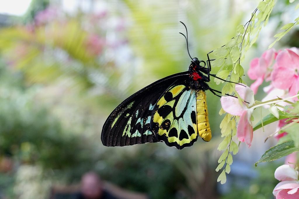 sfondo desktop farfalla